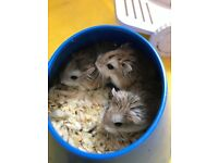 Dwarf Hamsters For Sale x2