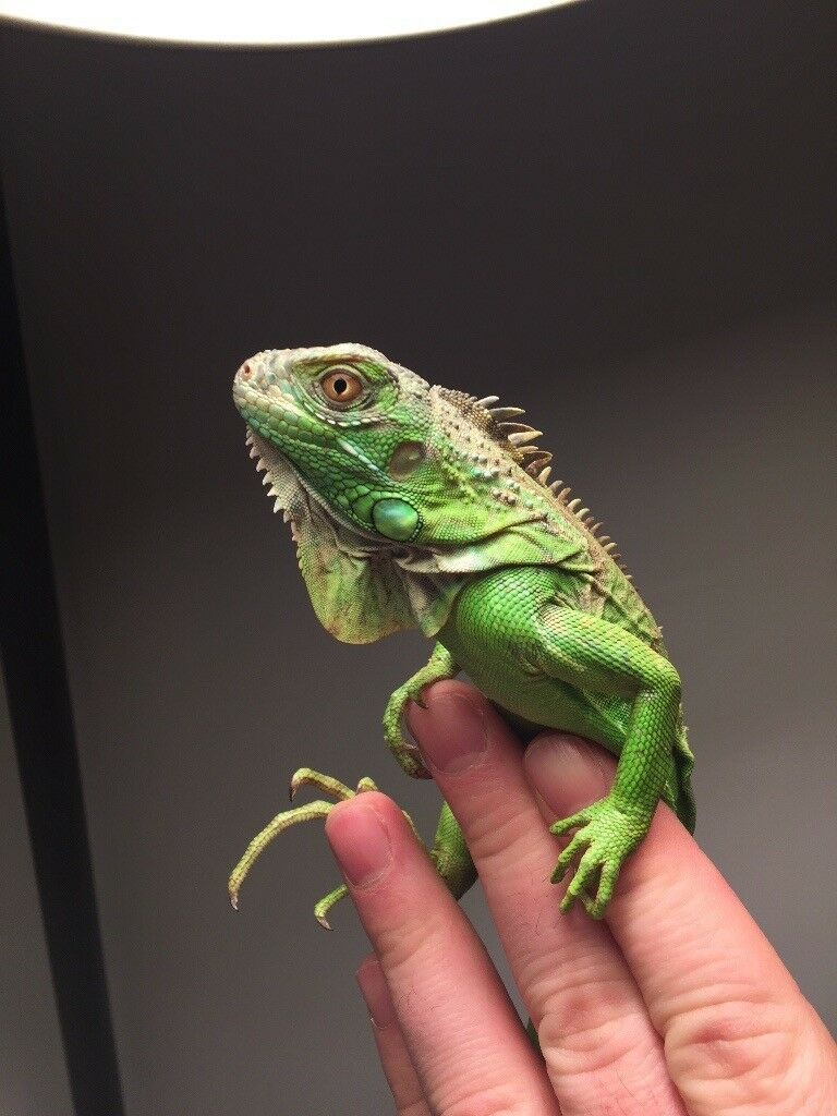 Young green iguana and entire set up