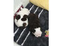 French bulldog cross puppies