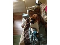StaffyXbulldog pup for sale