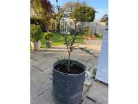 Evergreen tree in lovely old bin