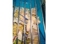 Young syrian hamsters