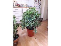 Urgent Sale of 4 wonderful plants due to moving overseas!Two healthy money trees, 2 palm trees