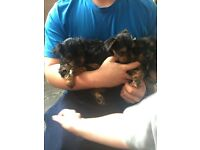 4 beautiful female Yorkshire terriers ready on Friday!! Mum and dad can be seen. Full pedegree pups!