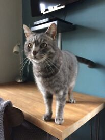 CAT FOUND: grey, shorthair tabby, very friendly, young adult female (we think).