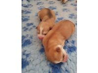 siberian x akita puppies for sale