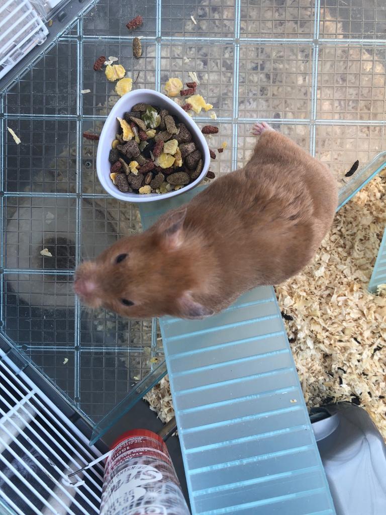 Beautiful Syrian Hamster