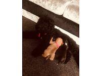 Poodle x kc reg bulldog puppies