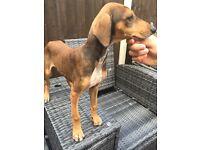 Saluki X greyhound puppies