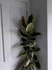 "Ficus elastica ""tineke"" (rubber plant)"