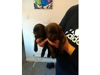 Neapolitan Mastiff x Rottweiler pups for sale