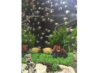 Marble Angel Fish fry for sale