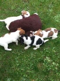 Jack russell puppies