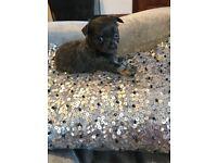 Blue Merle/Blue Tan Chihuahua Pups