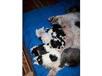 Black and white shuh tzu pups for sale