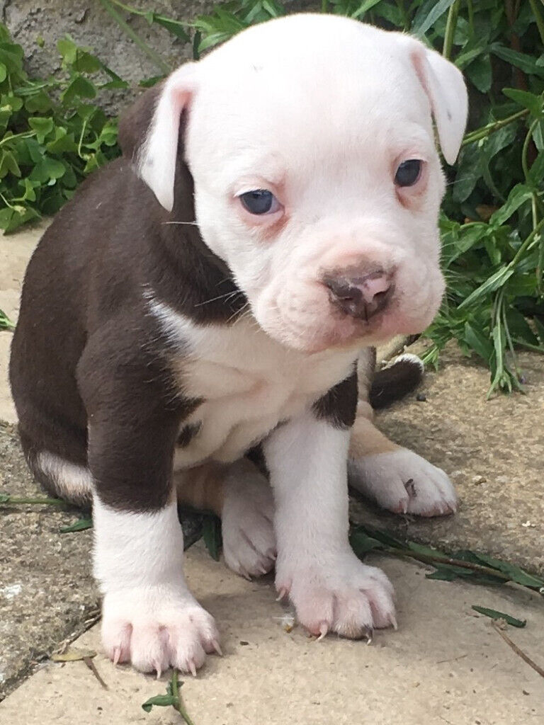 Old English Bulldog Pups Ready Now In Wyke West Yorkshire