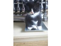 KITTENS READY IN 2 WEEKS FOR EVER LOVING HOME £20 EACH TO SECURE EVER LOVING HOME LITTER TRAINED