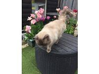 Male Ragdoll cat