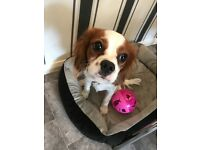 King Charles cavalier puppy dog