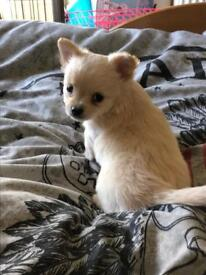 URGENT Stunning BEIGE:white longhaired FULL Chihuahua MALE