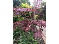 STUNNING RED ACER VERY STRONG AND HEALTHY No.2