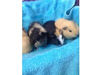 5 guinea pigs for sale