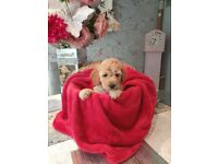 Stunning KC Reg pra/clear miniature poodle puppy for sale