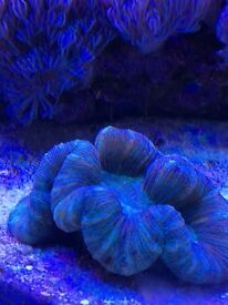 Marine Coral Australian Trachy (Trachyphyllia sp.) Yellow, Blue, Green, Brown, Red & Pink