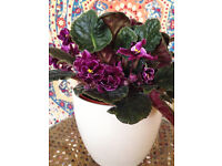 Beautiful Big African Violet Plant with Blooming Flowers in Simple White Pot