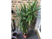 Yucca Elephantipes Potted Plant Spineless Yucca 3-stem