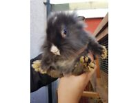 beautiful baby lionhead babies 2 bucks left very tame handled daily
