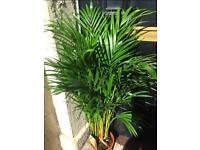 Golden Cane Palm Tree Houseplant