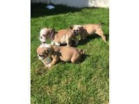 Stunning litter of English Bulldog puppies, Epic bullys lines