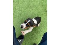 Beagle Male Puppy 9 weeks old