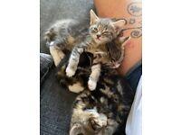 2 gorgeous female tabby kittens