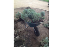 10 lavender bushes nely planted/new build. Surplus as restructuring garden £3 each