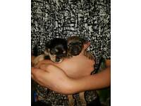 Chorkie puppies (Chihuahua x yorkie)