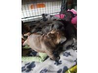 Full french bulldog puppies