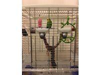 Budgerigar Birds for sale