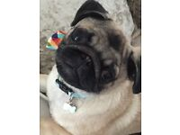 10 month old pug male . Pedigree and registered with kennel club