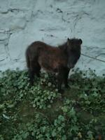 Mini Horse Colts For Sale