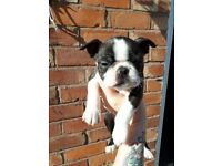 Female Boston terrier kc registered