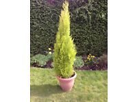 1.7 m Castlewellan Lemon Cypress Tree