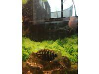 Fish. Rainbow cichlids