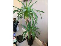Beautiful plant sell ASAP