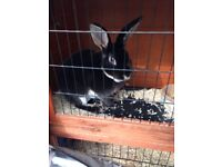 Velvet black rabbit male comes with everything