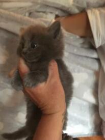 Beautiful blue part Persian kitten