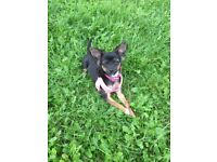 5 month old Chihuahua X Puppy (semi long hair) No Breeders please - Swindon