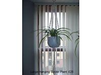 Hanging Spider Plant in Vase & Macrame Rope Hanger - 2