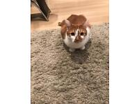 Ginger and White cat for sale
